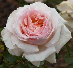 Rosier Andre Le Nôtre ® Meiceppus, rosiers à grandes fleurs Meilland Richardier