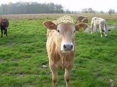 ملكه جمال البقر