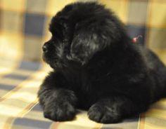 10. Terranova | Los cachorros tienden a ser de carácter tranquilo, en comparación de otras razas. Tardan hasta tres años en alcanzar la madurez.