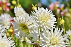 Learn how to plant, grow, and care for dahlia flowers with this garden guide from The Old Farmer's Almanac. Summer Flowering Bulbs, Summer Bulbs, White Dahlias, Dahlia Flowers, Growing Dahlias, Plant Zones, Old Farmers Almanac, Garden Planner, Colorful Plants