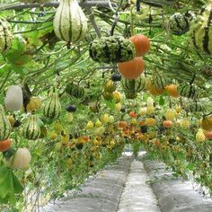 A wonderful way to grow squash/pumpkins- I Want My Garden To Look Like This