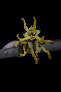 Witch Hazel in Flower, via Flickr.