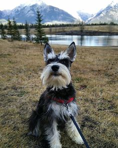 See this Instagram photo by @dr.watsontheschnauzer • 42 likes
