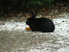 Black rabbit in my yard