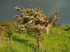 Hawthorn (Quickthorn or May) is also known as 'The Faerie Tree.' Lore claims lighted fairy gatherings take place after dark in these sacred locations. Irish farmers refuse to cut down lone hawthornes in their fields after misfortune overtook several un-superstitious families who cleared their land of the flowering trees. (The hawthorne also apprears on the O'Farrell family crest.)