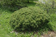 Click to view full-size photo of Slowmound Mugo Pine (Pinus mugo 'Slowmound') at The Mustard Seed