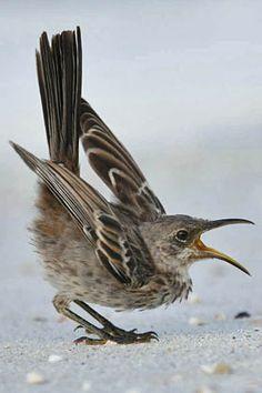 **Galápagos: Mockingbird - P_12.10.2012 - Hood Mockingbird Photo