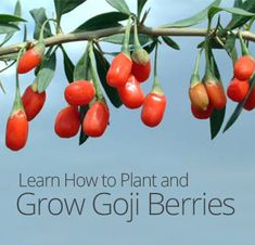 How to Plant and Grow Goji Berries