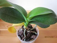 Orchidea-Leggyakoribb ápolási hibák