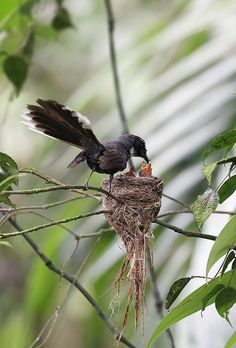 White-throated Fantail feeding the babies ~ Photographer: Eddy Lee