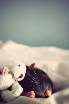 A rat cuddling with a miniature teddy bear.
