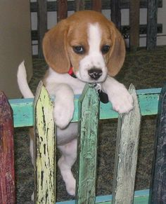 Are you interested in a Beagle? Well, the Beagle is one of the few popular dogs that will adapt much faster to any home. Cute Beagles, Cute Puppies, Cute Dogs, Dogs And Puppies, Doggies, Art Beagle, Beagle Puppy, Best Dog Breeds, Best Dogs