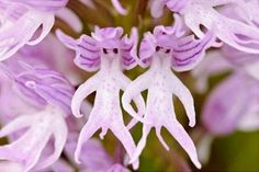 Orchis Italica aka Naked Man Orchid. Such a weird flower. I need these in my garden!