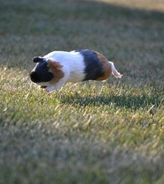 Ein fliegendes Meerschweinchen