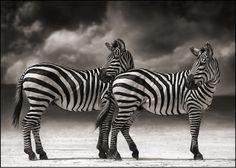 Zebras<3