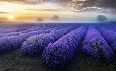 Lavender Fields California | Share