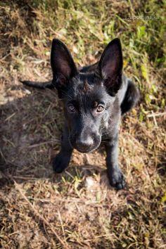 #black german shepherd #puppy