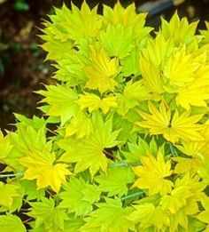 Google Image Result for http://www.about-garden.com/images_data/2534-acer-shirasawanum-aureum-japanese-maple.jpg