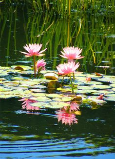 Nymphaea - Pink Waterlilies, by Stanley Zimny, via Flickr