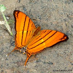Butterfly (Marpesia berania, Common name: Orange daggerwing)