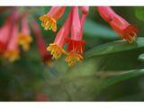 Lonicera sempervirens (Coral honeysuckle) | NPIN.  Trumpet Honeysuckle.