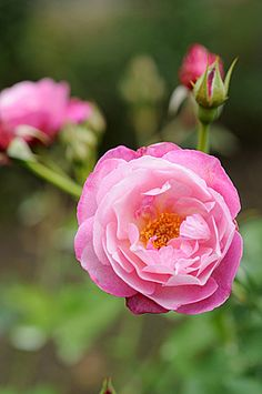~China Hybrid Rose: Rosa 'Sophie's Perpetual' (unknown origins, before 1922)
