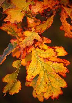 Autumn Oak Leaves by benwmbc Oak Leaves, Autumn Leaves, Fallen Leaves, Seasons Of The Year, Fall Pictures, Arte Floral, Apple Tree, Autumn Day, Fall Season