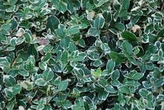 Fusain persistant 'Emerald 'n Gaiety' Buxus, Emerald, Flowers, Blog, Small Gardens, Charcoal Picture, Shrub, Green, Blogging