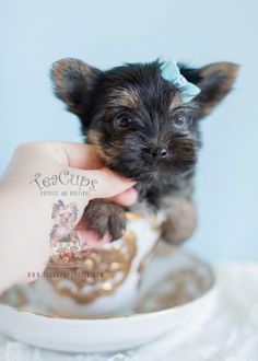 Adorable Morkie puppy by TeaCupsPuppies.com    #morkie #puppy #puppies