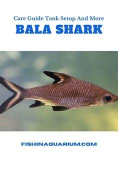 Freshwater Fish, Fish Tank, Fresh Water, Shark, Aquarium, Ideas, Goldfish Bowl, Water Tank, Sharks