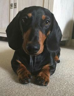 """See our web site for additional relevant information on """"dachshund puppies"""". It is an excellent location to find out more. Dachshund Facts, Dapple Dachshund, Funny Dachshund, Dachshund Puppies, Dachshund Love, Cute Puppies, Cute Dogs, Funny Pets, Chihuahua Dogs"""