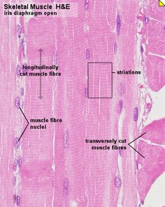 "Skeletal muscle consists of very long tubular cells, which are also called muscle fibers. The average length of skeletal muscle cells in humans is about 3 cm/1.2"" (sartorius muscle on thigh up to 30 cm/12"", stapedius muscle in ear only about 1 mm). Their diameters vary from 10 to 100 µm."