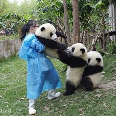 Funny Animals Funny Video - Funny Pandas Vines 2020 with Audio Song. In computer programming, pandas is a software library written for the Python programming. Funny Panda Pictures, Panda Funny, Animal Pictures, Cute Funny Animals, Cute Baby Animals, Funny Cute, Animals And Pets, Panda Mignon, Panda Lindo
