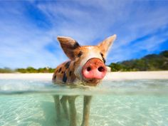 Want an unforgettable experience on your next Bahamas getaway? Take an excursion to meet these adorable swimming pigs.
