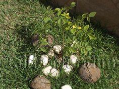 Roseira replantada