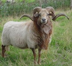 I don't care what anyone says. Rams ARE majestic!