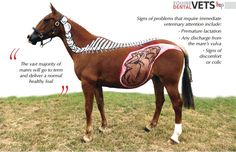 Pregnant mare with foal drawn on her - Drawing done by Horses Inside Out - Great Article!!!