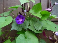 """Morning glories are """"Mary Garden"""" plants: http://www.fisheaters.com/marygardens.html (Photo by Jeanette O'Toole, 8-7-14.)"""