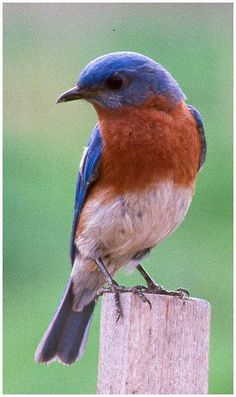 Wonderful picture of a Bluebird.