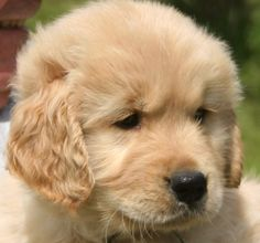 So soft and just beautiful.  I look so forward to a new puppy in the NEAR future  : )