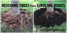 Did you know that a tree can actually strangle itself with its own roots? Here are the correct steps to returning your tree to health. Tree Mulch, Mulch Around Trees, Landscaping Around Trees, Mulch Landscaping, Garden Trees, Lawn And Garden, Trees To Plant, Garden Plants, Gardening Vegetables