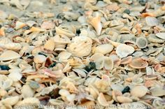 Magic carpet of sea shells Naples Fl. Naples Illustrated  #NaplesIllustrated