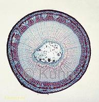PX05-037a  Basswood Stem - cx of 1 year stem - Tilia spp.  100x