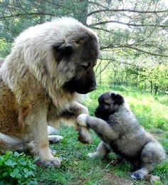 Leonberger-Learning to shake!-I want one of these one day