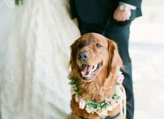 Mrs. Mink's golden retriever ring bearer / wedding dog