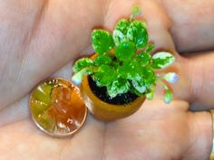 World's smallest African Violet with buds/flowers??? This is a newly propagated micro-miniature African Violet called, Pixie Runaround, cultured to bloom almost from the start.