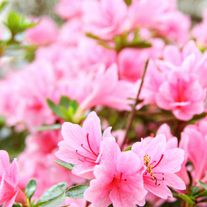 Azalea bushes cover south Alabama, in every color.