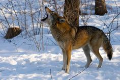 I am Red Wolf--Wolf Conservation Center Photo