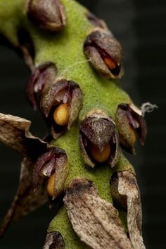 Bulbophyllum steyermarkii