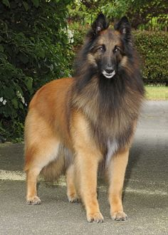 Exceptional cute dogs tips are offered on our internet site. Have a look and you wont be sorry you did. Belgian Dog, Belgian Tervuren, Belgian Shepherd, German Shepherd Dogs, Big Dogs, Large Dogs, Cute Dogs, Dogs And Puppies, Beautiful Dogs